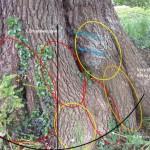 Decay map of Veteran Oak