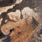 Decay in root flare of Oak caused by decay fungus Inonotus dryadeus